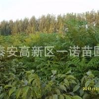 大棚香椿苗红油香椿苗山东香椿苗香椿种子实景实地欢迎预定