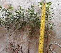 大量批发东北红豆杉苗木北方红豆杉东北红豆杉籽苗