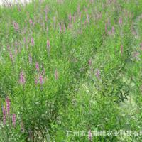 绿化苗木公司绿化草水生植物玉带草千屈草风景园林