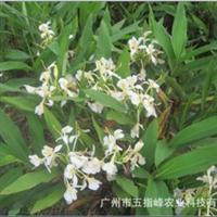 厂家供应水生植物黄白姜花园林风景绿化植物园林花卉苗圃