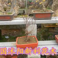 出售树木盆栽植物红梅盆景室内办公植物