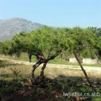 常年供应松树大型乔木松树