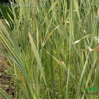 供应水生植物-花叶香蒲,花叶香蒲苗,苏北花叶香蒲