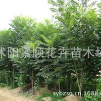 销售香椿树苗香椿树香椿种子