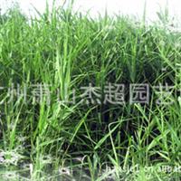 大量供应水生植物芦苇