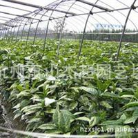 供应园林绿化工程小苗25-50公分桃叶珊瑚花叶珊瑚