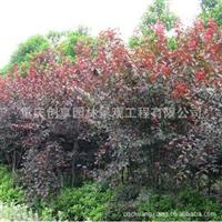 红叶李树、红叶李苗木价格处理,欢迎抢购