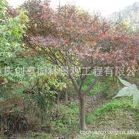大量红枫供应、重庆红枫、重庆乔木、红枫、红枫树
