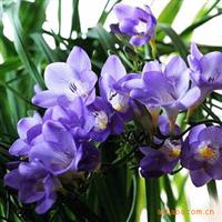 香雪兰(小苍兰)种球开蓝色花蓝色多瑙河单瓣