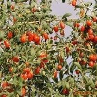 枸杞种子,侧柏种子,洒金柏种子,栾树种子