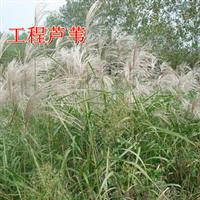 【观赏芦苇】出售芦苇根公园景区池塘专用芦苇量大优惠多