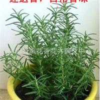 批发供应迷迭香种苗绿植盆栽香草植物提神醒脑改善脱发