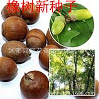 批发供应优质柿树种子柿子树种子当年新采果树种子货到付款