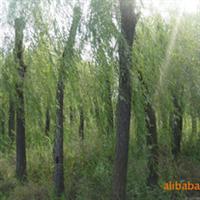 大量供应15公分柳树青皮垂柳垂柳小苗嫁接垂柳