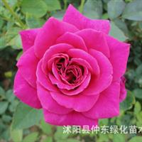 红色玫瑰系列:月季,梅朗口红卡罗拉香云法兰西沙沙90