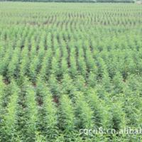 供应大量重阳木(三叶树)小苗,成活率高