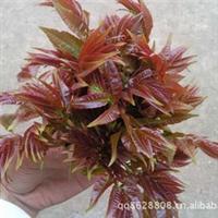 出售红油香椿种子,食用香椿香味浓郁30元/斤