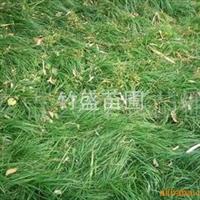 供应绿化苗木地被植物细叶麦冬产地安吉