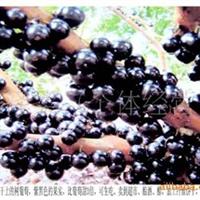 嘉宝果树葡萄种子一件代发
