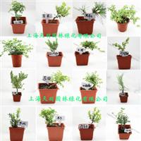 花卉盆景室内盆栽多种品种可选净化空气除甲醛带盆发货