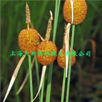 水生花卉小香蒲盆栽花卉水池绿化庭院水景观赏
