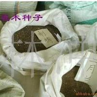 供应麦香椿种子,10斤以上算批发价格