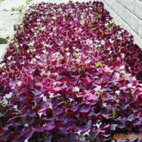 大量出售紫叶榨酱草____地被首选紫色彩叶植物新品种