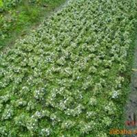 出售绿化常用地被彩叶植物金边六月雪