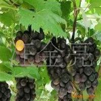 【苗圃直销】出售各个品种葡萄种子庭院葡萄种子葡萄籽种子