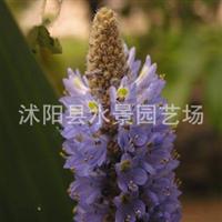 l厂家直销供应各种本草植物海寿花又名梭鱼草北美梭鱼草