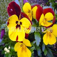 供应三色堇、蝴蝶花、三色堇苗
