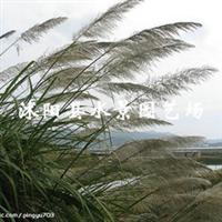 供应各种水生植物芦苇(芦笋、绿苇、日本苇、丝毛芦、细叶芦苇)