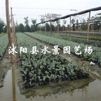 供应水果兰(别名灌从石蚕)
