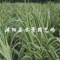 大量供应水生植物花叶芦苇