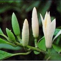 基地供应黄角兰盆栽带盆发货苗高60公分,嫁接黄角兰又称白兰花