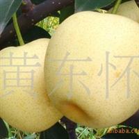 供应优质二年生嫁接黄金梨果树苗适应性强批发梨树苗木