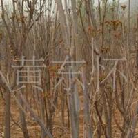 江苏大量供应优质红香椿树苗批发2米高的香椿苗