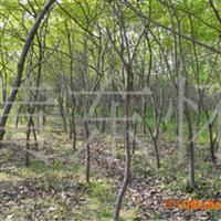 江苏供应优质生态园梨树20公分以上