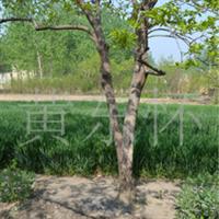 江苏供应三公分柿树