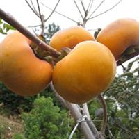 江苏淮安市低价批发优质日本甜柿树苗