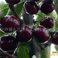 淮安供应优质二年生嫁接黄金梨果树苗批发黄金梨树苗