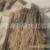 出售湖北优质花椒树苗、重庆花椒苗、贵州花椒苗、天津花椒苗批发