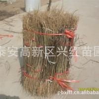 哪里有花椒苗卖哪里有大红袍花椒苗供应大红袍花椒苗多少钱