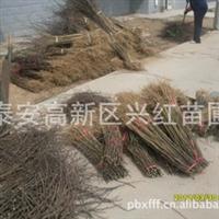 出售花椒苗、大红袍花椒树苗、安徽花椒苗、四川重庆花椒苗、花椒