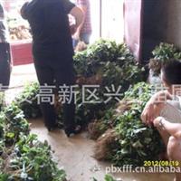 出售广东草莓苗广东惠州优质草莓苗惠州天香草莓原种苗批发