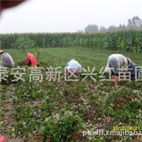 草莓苗出售出售安徽巢湖六安亳州池州宣城地区章姬草莓苗果树苗
