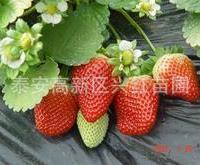 供应口感佳果实大的贵美人草莓苗、湖南草莓苗、优质重庆草莓苗