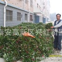 批发河南草莓苗批发适合河南郑州开封洛阳平顶山地区种植草莓苗