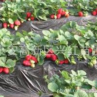 出售广东草莓苗广东佛山优质草莓苗佛山章姬草莓原种苗批发