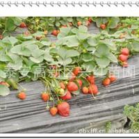 邢台新品种草莓苗邢台红颜草莓苗邢台甜宝草莓苗邢台章姬草莓苗